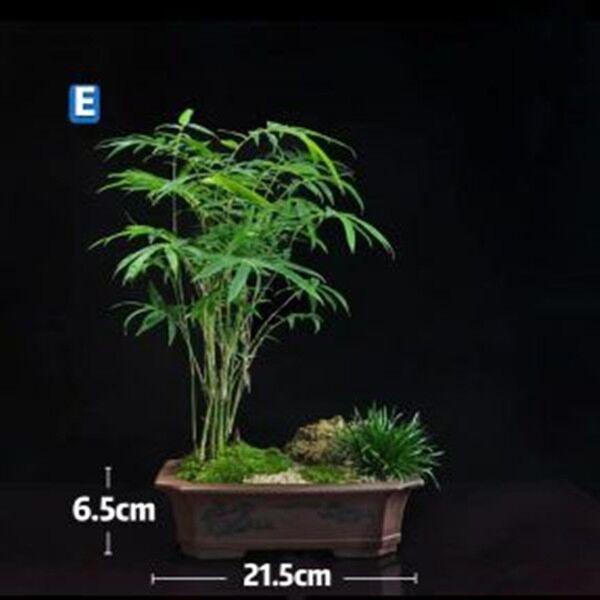Bamboo Bonsai (Bambusoideae sp)