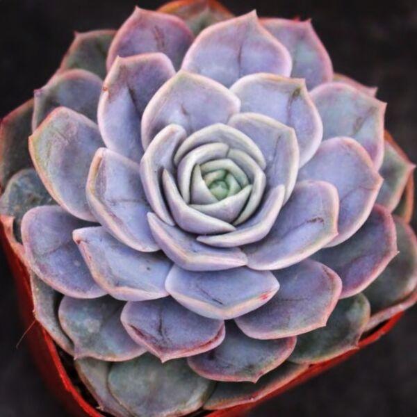 Echeveria 'Blue Surprise'