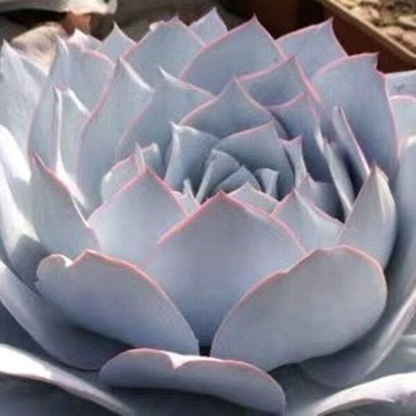 Echeveria cante Glass & Mendoza-Garcia