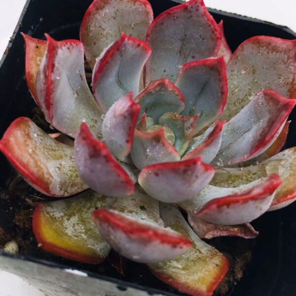 Echeveria ' Dark Ice '