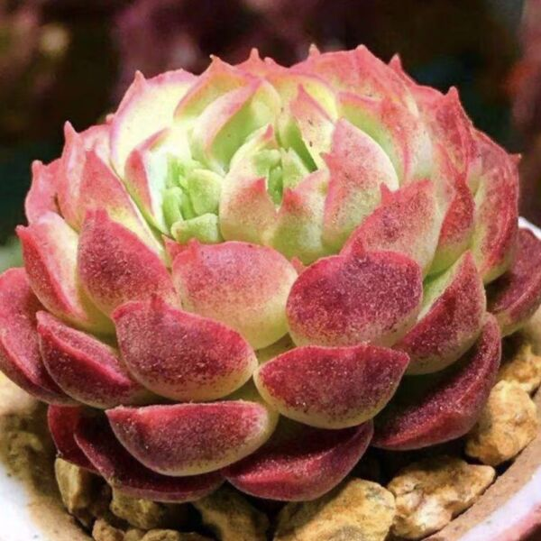Echeveria red hole