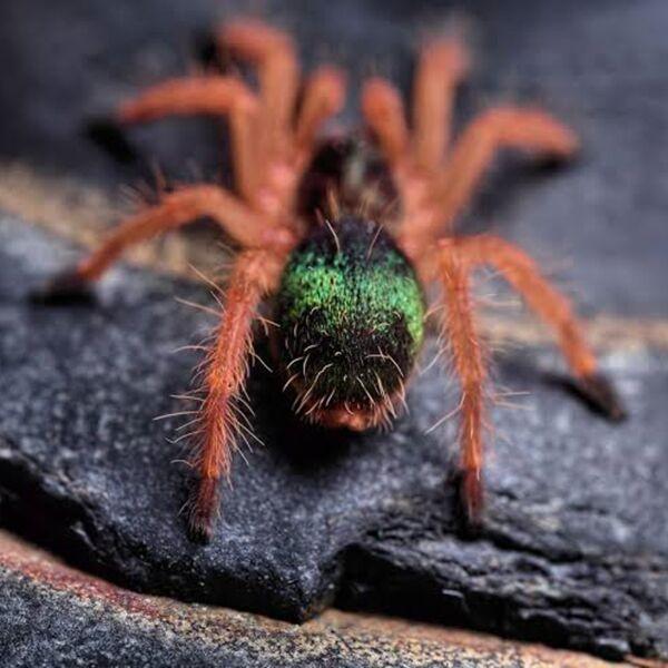 Emerald Skeleton Tarantula (Ephebopus uatuman)