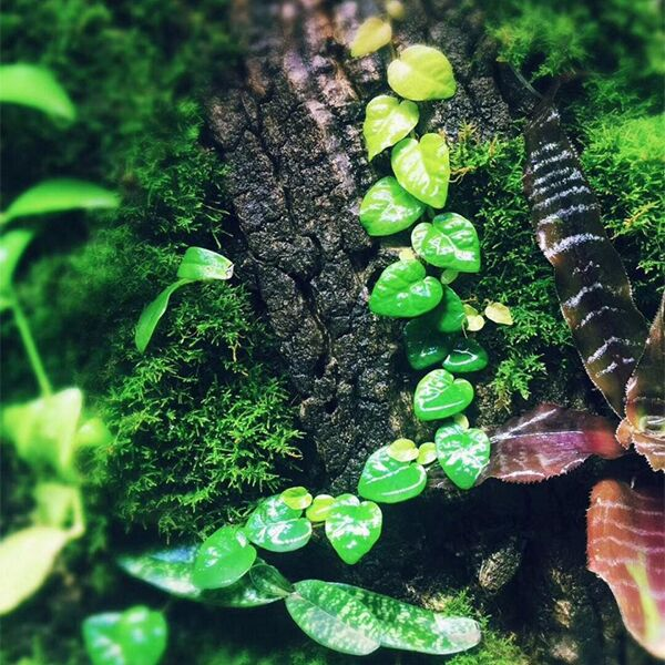 Ficus Pumila ( Creeping fig )