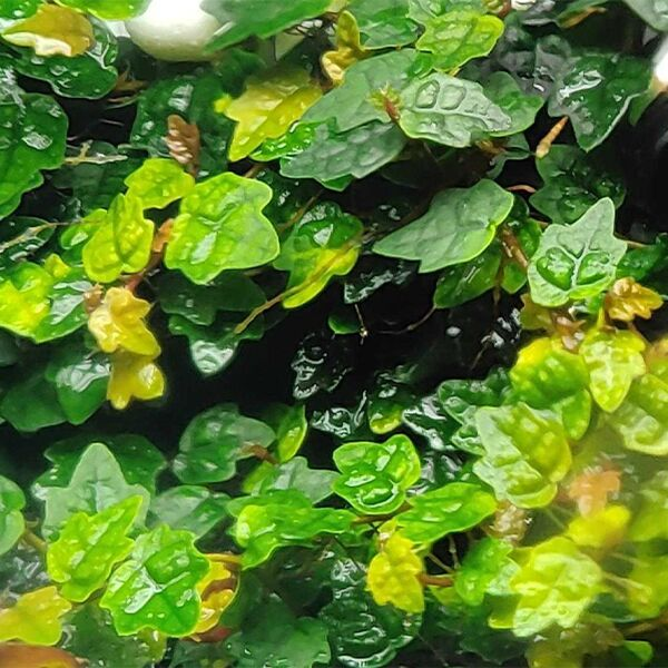 Ficuspumilavar.quercifo