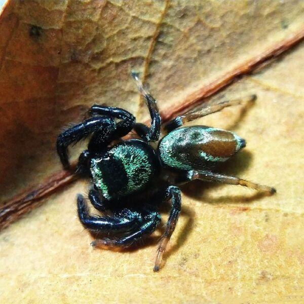 Fighting Jumping Spider (Thiania bhamoensis)