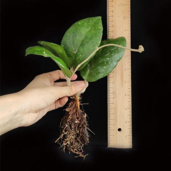 Hoya vitellina blume