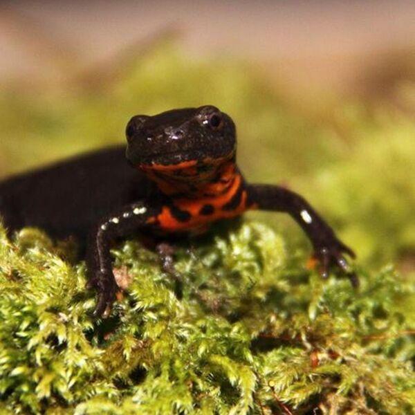 Fire Bellied Newt (Cynops orientalis)