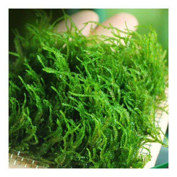 Flame Moss (Taxiphyllum sp.