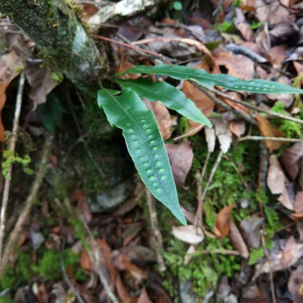 Fortune's Ribbon Fern (Neolepisorus fortunei)
