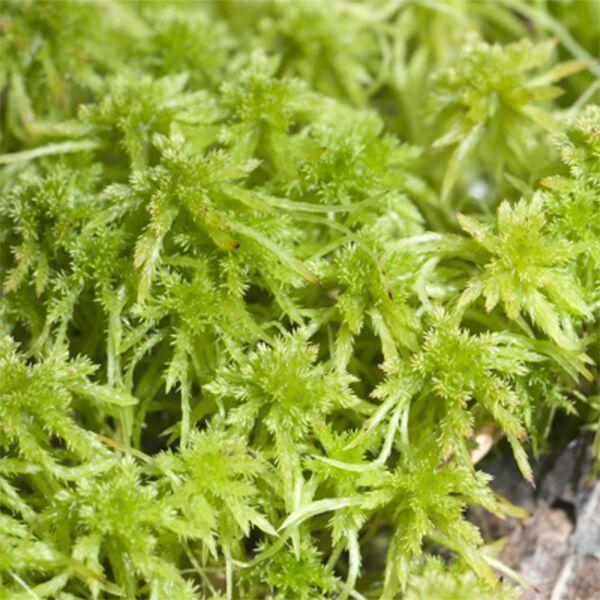 Fresh Sphagnum Moss (Sphagnum palustre)
