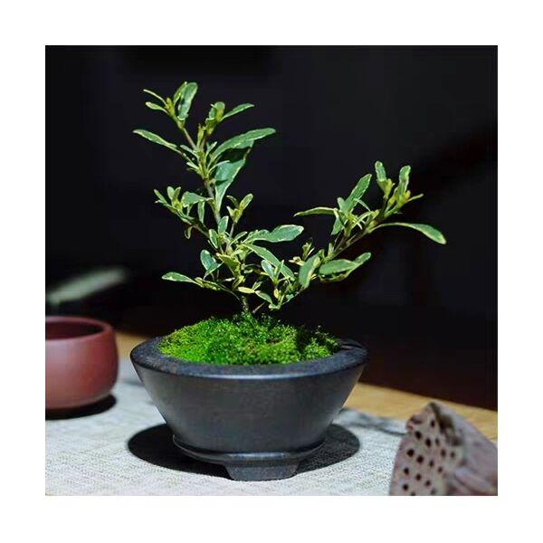 Gardenia (Gardenia stenophylla)