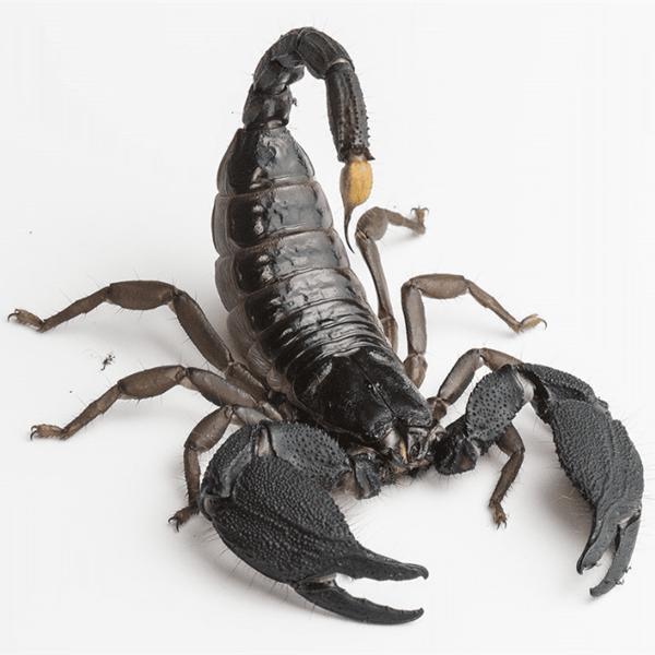 Giant Forest Scorpion (Heterometrus mysorensis)