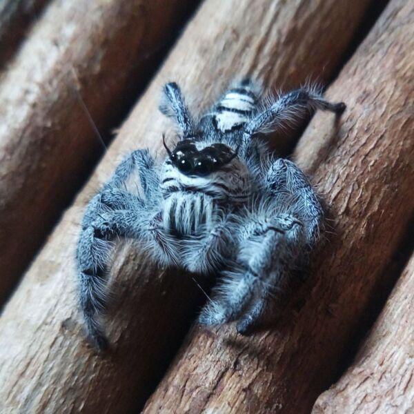 Giant Jumping Spider (Hyllus diardi)