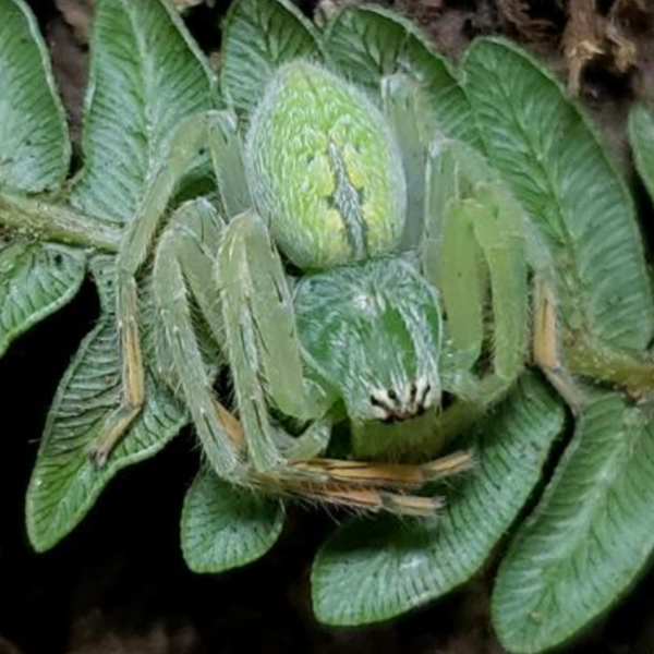 Huntsman Spider (Gnathopalystes sp. )