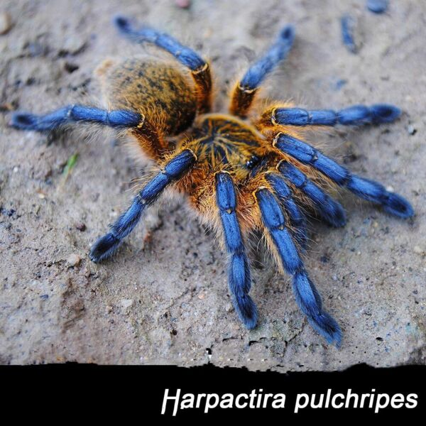 Golden Blue Leg Baboon Tarantula (Harpactira pulchripes)