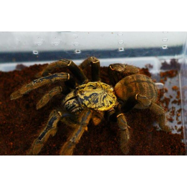 Golden Earth Tiger Tarantula (Cyriopagopus schmidti)