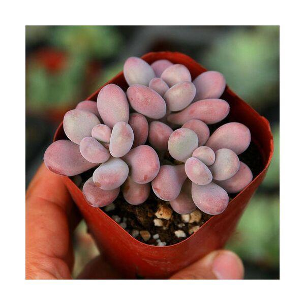 Lavender pebbles (Graptopetalum amethystinum )