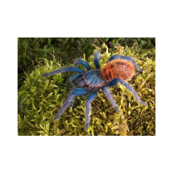 Greenbottle Blue Tarantula (Chromatopelma cyaneopubescens)