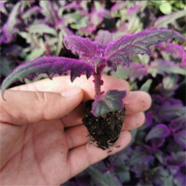 Gynura aurantiaca