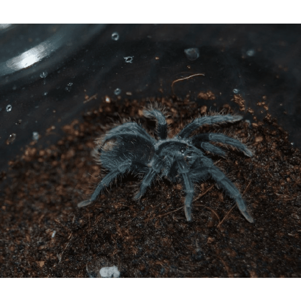 Haitian Brown Tarantula (Phormictopus cancerides)