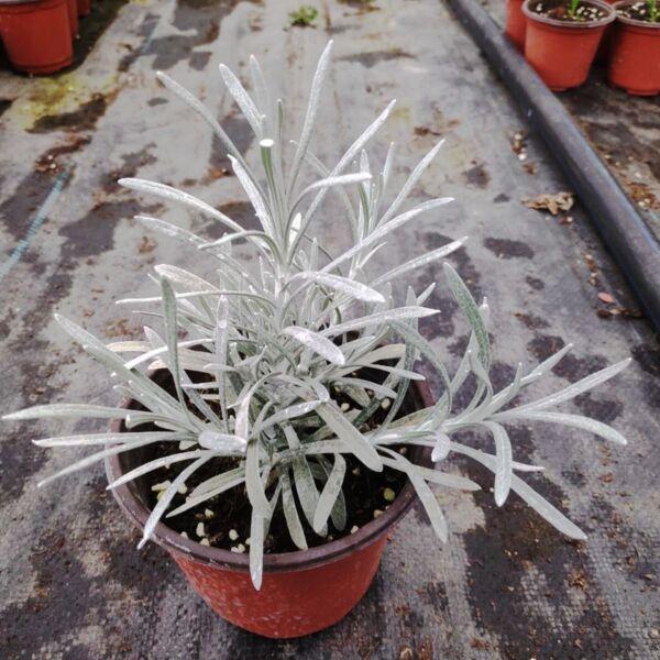 Helichrysum ' Crystal Ice '