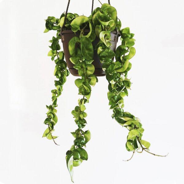 Hindu Rope ( Hoya carnosa ' Compacta ' )