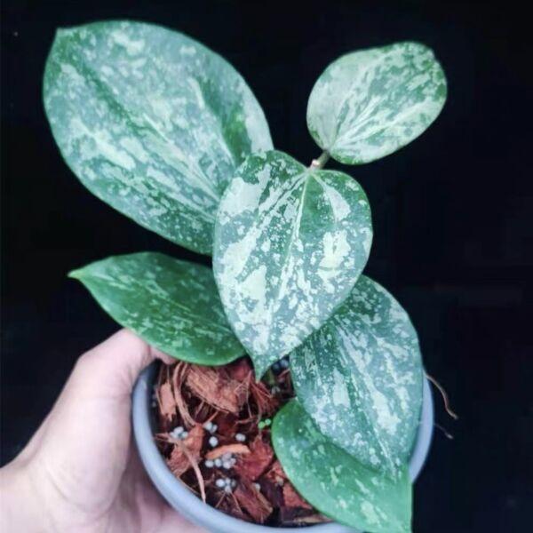 Hoya macrophylla ' Snow Queen '