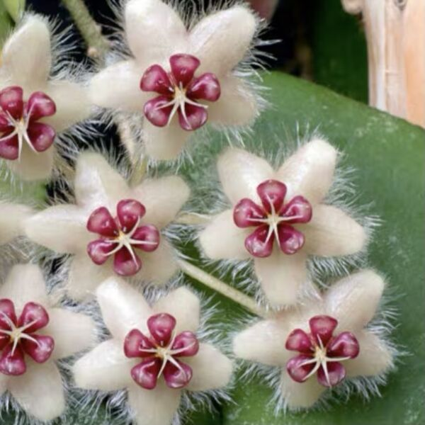 Hoya caudata ' Red '
