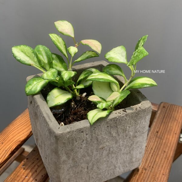 Hoya heuschkeliana variegata