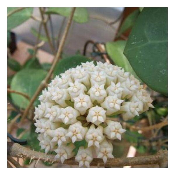Hoya latifolia 'Dinner-plate Hoya'