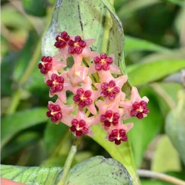 Hoya polyneura ' Fish tail Hoya '
