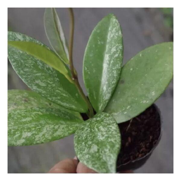 Hoya pubicalyx ' Pink Silver '