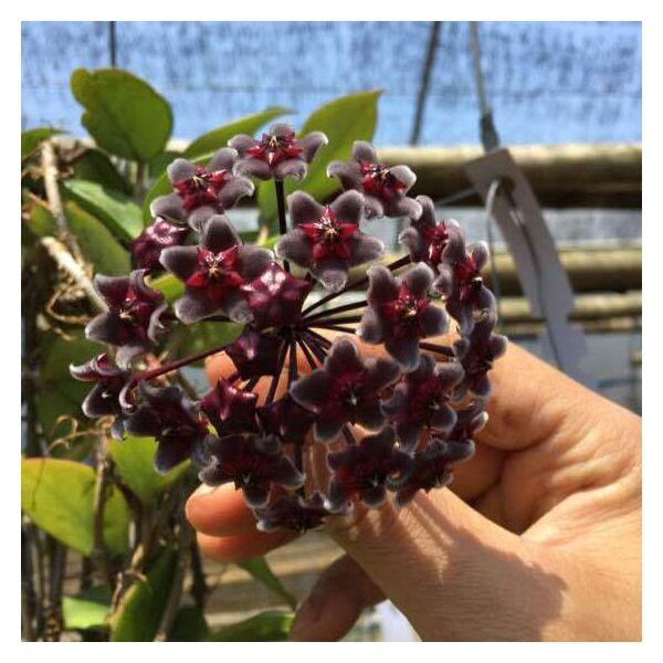 Hoya pubicalyx ' Red button '