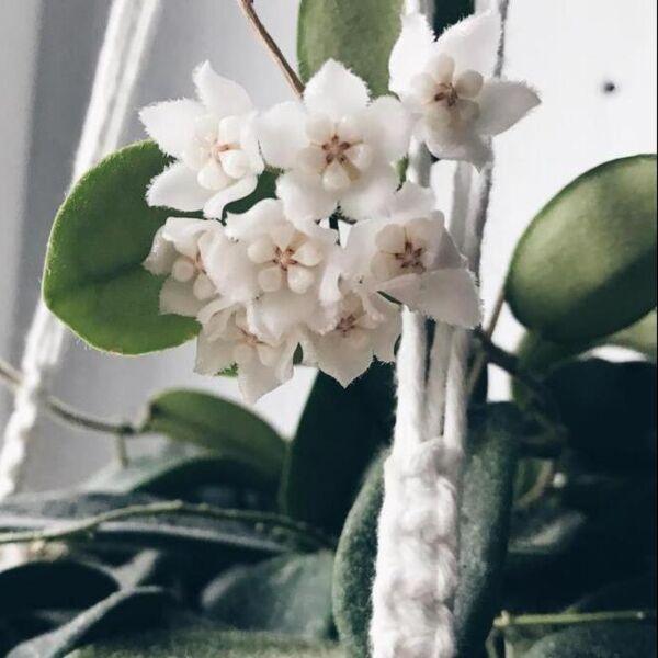 Hoya thomsonii ' White flower '