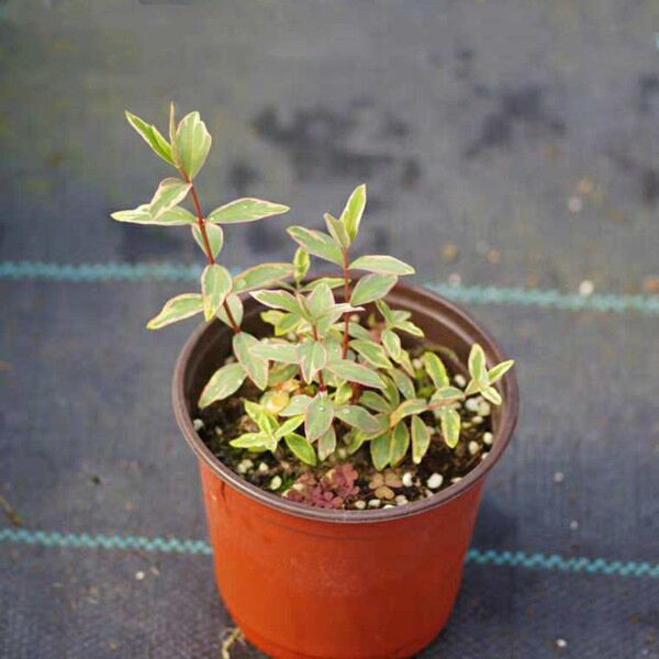 St. John's wort ( Hypericum x moserianum ' Tricolor ' )