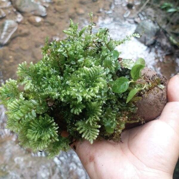 Hypopterygium rotulatum