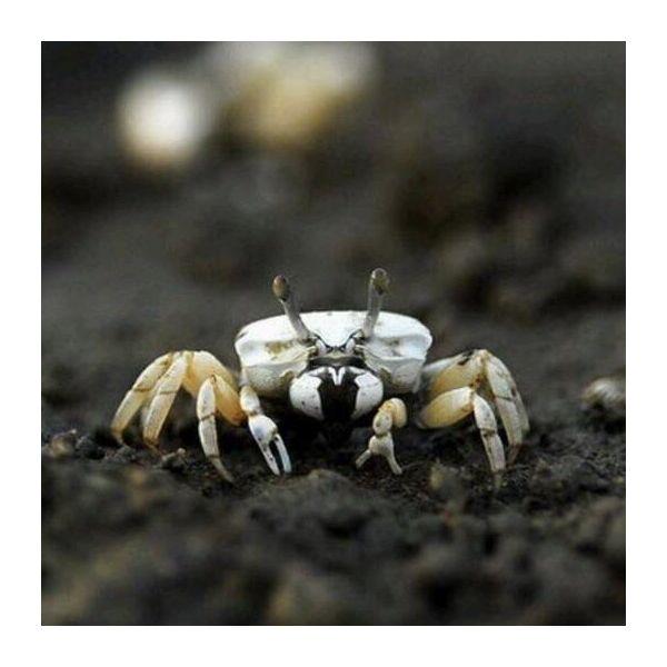 White Hand Fiddler Crabs (Uca lactea) x 6