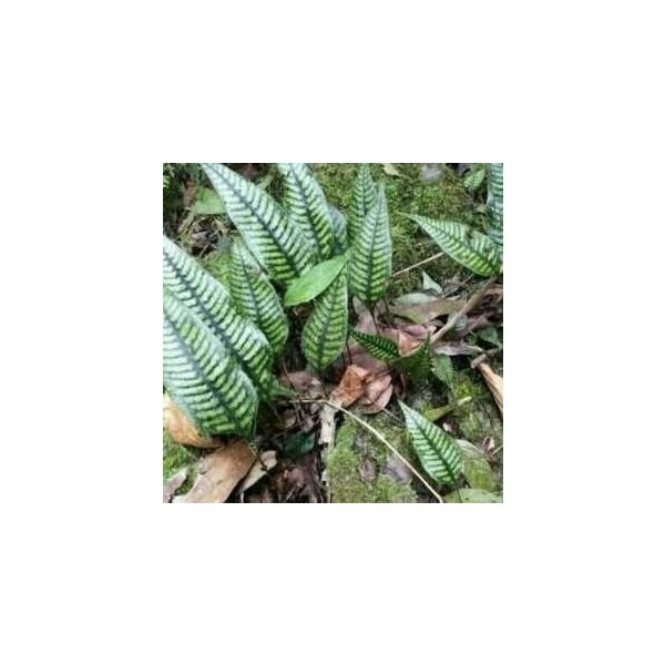 Neolepisorus truncatus