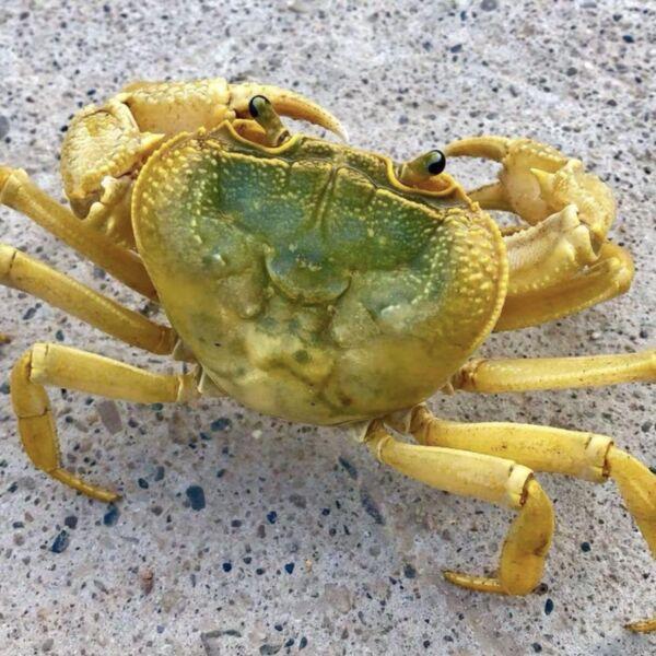 Yellow Indochinamon Crab (Indochinamon chinghungense)
