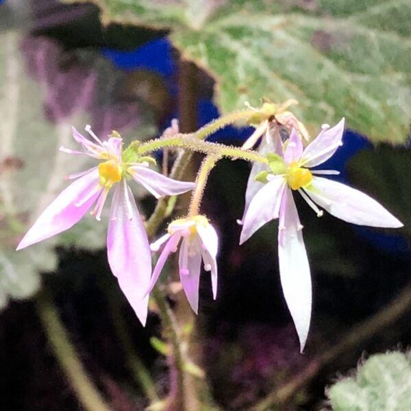Strawberry Begonia ( Saxifraga stolonifera )