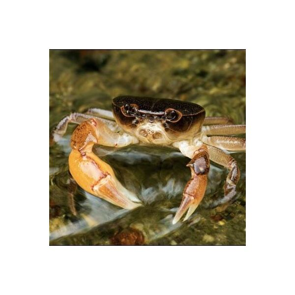 Dwarf Warrior Crab  (Geothelphusa dehaani)