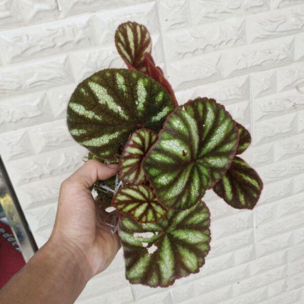 Begonia versicolor