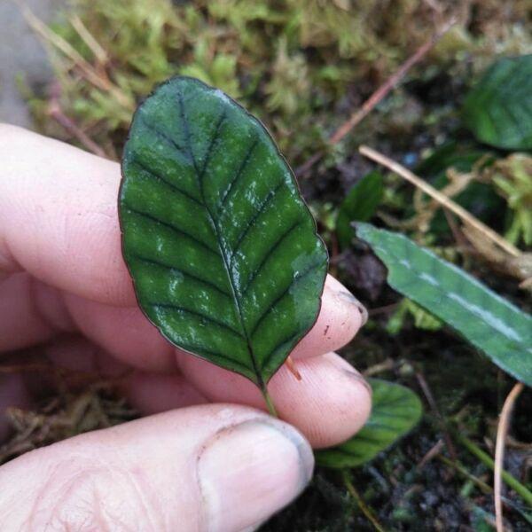 Selliguea rhynchophylla