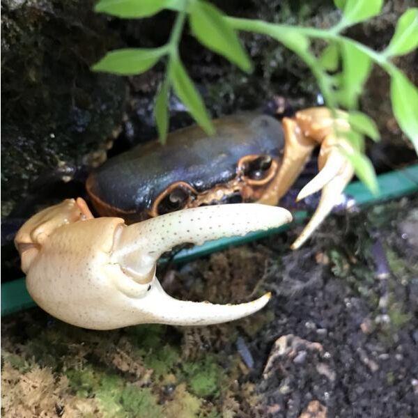 Giant Potamon Crab (Qianguimon splendidum)