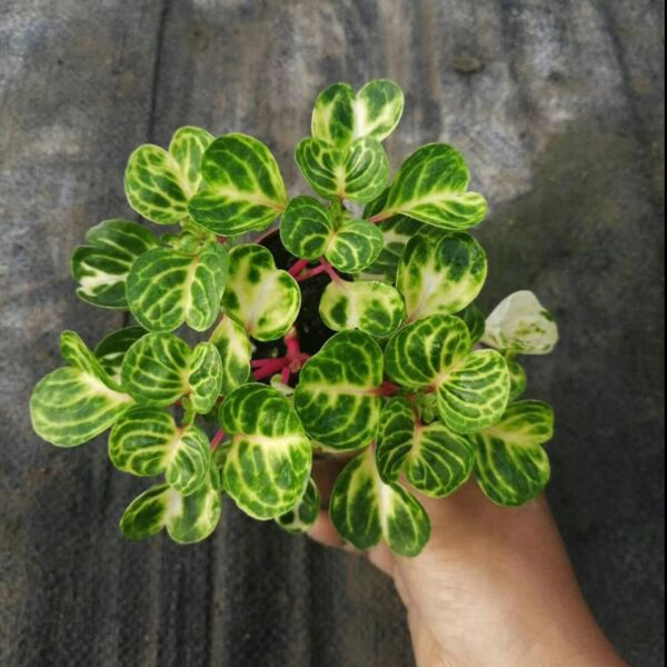 Beefsteak plant ( Iresine herbstii ' Aureoreticulata ' )