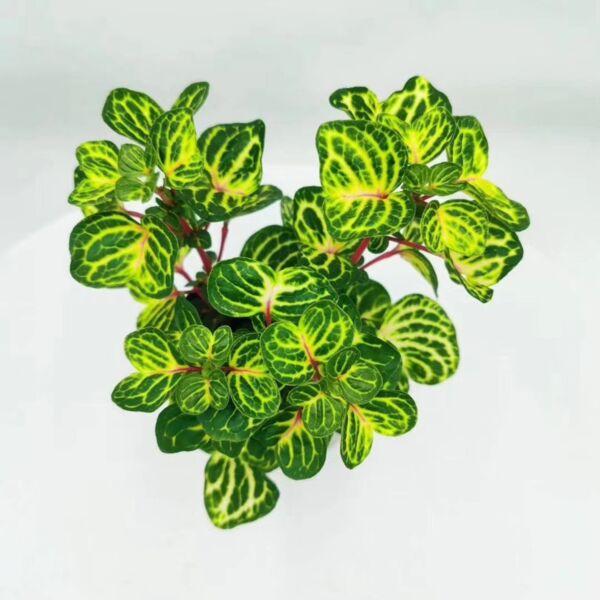 Beefsteak plant (Iresine herbstii 'Aureoreticulata')
