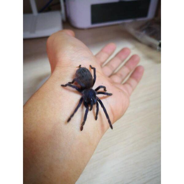 Iridescent Blue Tarantula (Pterinopelma sazimai)