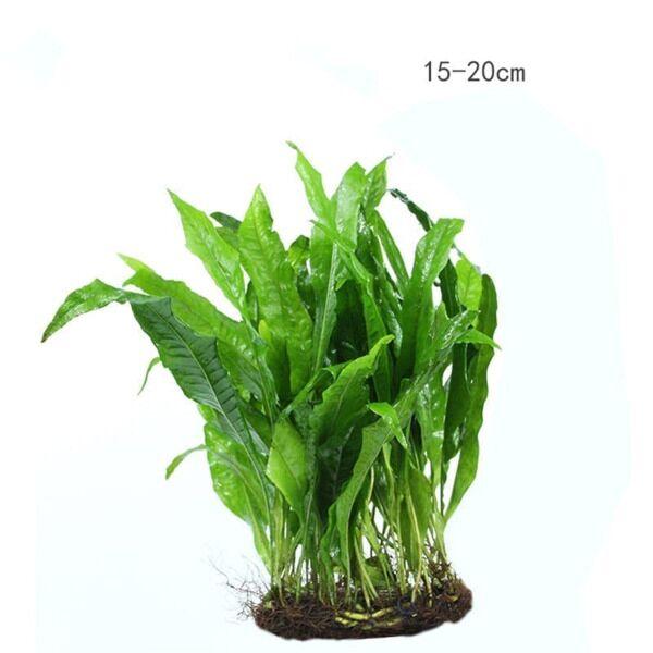Java Fern (Microsorum pteropus)