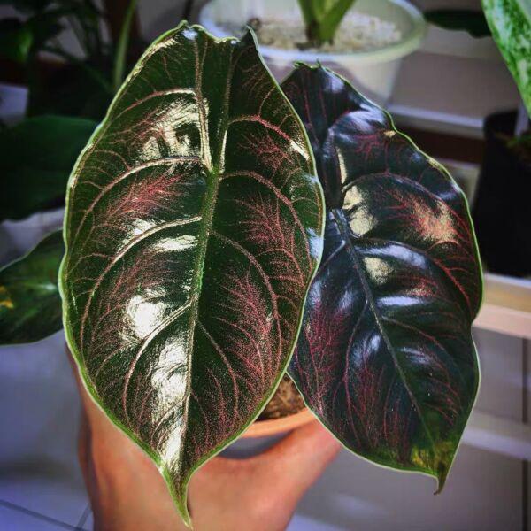 Jewel Alocasia ( Alocasia azlanii ) for sale | MyHomeNature
