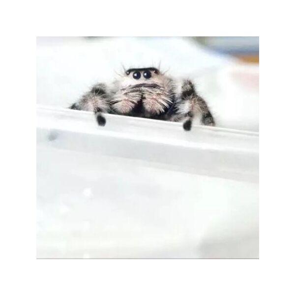 Regal Jumping Spider (Phidippus regiu)